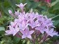 Ixora coccinea flowers close up Stock Images