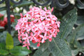 Ixora flower pink flower in the nature Royalty Free Stock Photography