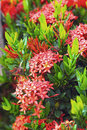Ixora Flowers In The Nature