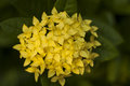 Ixora fresh bright yellow floweพ Stock Image