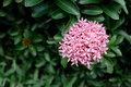 Ixora is one of the popular flowering plants used for garden decoration in tropical countries Stock Image