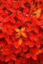 Ixora red Stock Photo