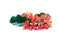 Ixora Red Flowers