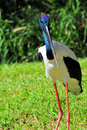Jabiru Stork Bird Stock Images