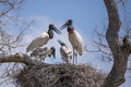 Jabiru stork family on nest communicating two gray and white chicks begging for food and two red black and white adult storks in a Royalty Free Stock Photo
