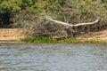 Jabiru Stork in Flight over River Royalty Free Stock Photo