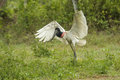 Jabiru Stork (Jabiru mycteria) Royalty Free Stock Photo