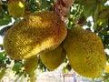 stock image of  Jaca, brazilian exotic fruit