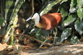 Jacana africain Photo stock
