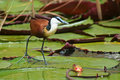 Jacana on waterlilies, Botswana Stock Photography