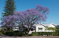 Jacaranda beautiful tree blossoming in an australian street with wooden house of the queenslander type in background brisbane Stock Images