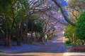Jacaranda street trees in full bloom lining the streets in pretoria south africa Royalty Free Stock Images