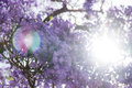 Jacaranda tree in blossom against direct sunlight Royalty Free Stock Photo