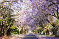 Jacaranda tree-lined street in South Africa's capital city Royalty Free Stock Photo