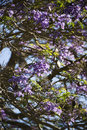 Jacaranda tree in Maui, Hawaii Stock Photography