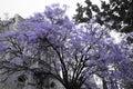 Jacaranda tree Royalty Free Stock Photo