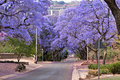 Jacaranda trees Stock Photography