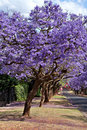 Jacaranda trees Stock Photos