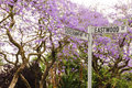Jacaranda trees in bloom in pretoria south africa street sign on the corner of goverment and eastwood street tswane with Stock Images