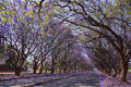 Jacaranda Trees In Harare