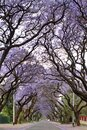 Jacaranda trees lining a residential road Royalty Free Stock Photo