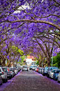 Jacarandas in full bloom Royalty Free Stock Photo