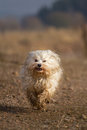 Jack of all trades a small breed dog runs bursting with dirt on the photographer in an autumnal scenery Royalty Free Stock Photography