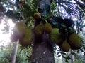 stock image of  Jack fruit