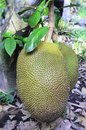 Jack fruit in the garden Royalty Free Stock Images