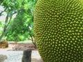 Jack fruit orchard tree Stock Image