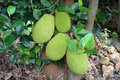 Jack fruit on a tree Royalty Free Stock Photo