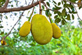 Jack fruit on the tree in garden Stock Photos