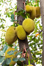 Jack fruit on the tree in garden Royalty Free Stock Photos