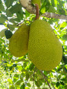 Jack fruit on tree the jackfruit is a species of in the artocarpus genus of the mulberry family it is native to parts of south and Royalty Free Stock Images