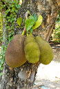 Jack fruit on the tree tropical Stock Photography
