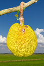 Jack fruit the yellow and ripe and rotting on vole sky clouds Stock Photography