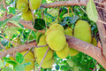 Jack fruits Stock Images