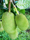 Jack fruits. Stock Photo
