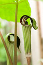 Jack in the pulpit plant two plants hidden a garden with green umbrella Royalty Free Stock Image