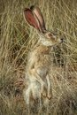 Jack Rabbit at Attention Royalty Free Stock Photo