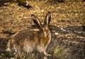 Jack Rabbit Royalty Free Stock Photo