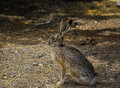 Jack Rabbit Royalty Free Stock Photo