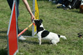 Jack russel and dog agility is a sport in which a handler directs a through an obstacle course in a race for both time accuracy Royalty Free Stock Photos