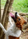 Jack russel dog playing outside in a house park having fun try to jump up for hunting a small wild animal escape on a tree barking Stock Photos