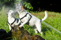 Jack russel dogs playing with water Royalty Free Stock Photography