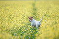 Jack russel on flower meadow Stock Image