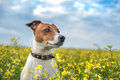 Jack russel on flower meadow Royalty Free Stock Image