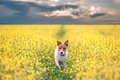 Jack russel on flower meadow Royalty Free Stock Photography