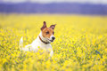 Jack russel on flower meadow Royalty Free Stock Images