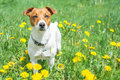 Jack russel on flower meadow Stock Photos